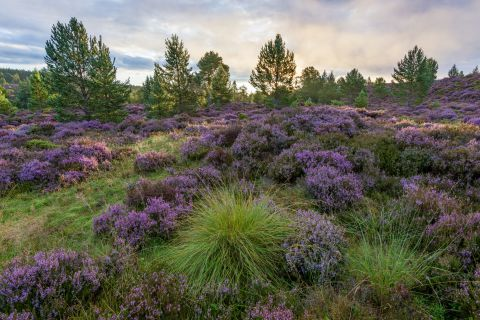 Heide - Rothiemurchus, Cairngorms National Park, Scotland