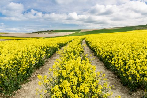 Rapeseed field with tracks