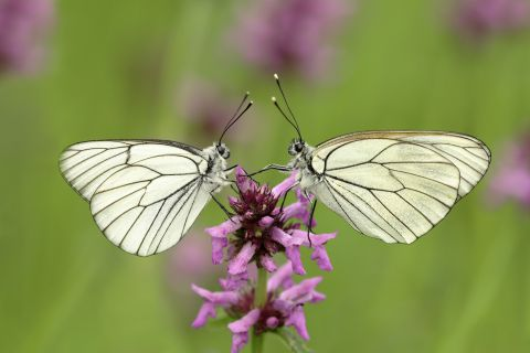 Black-veined whites on flower